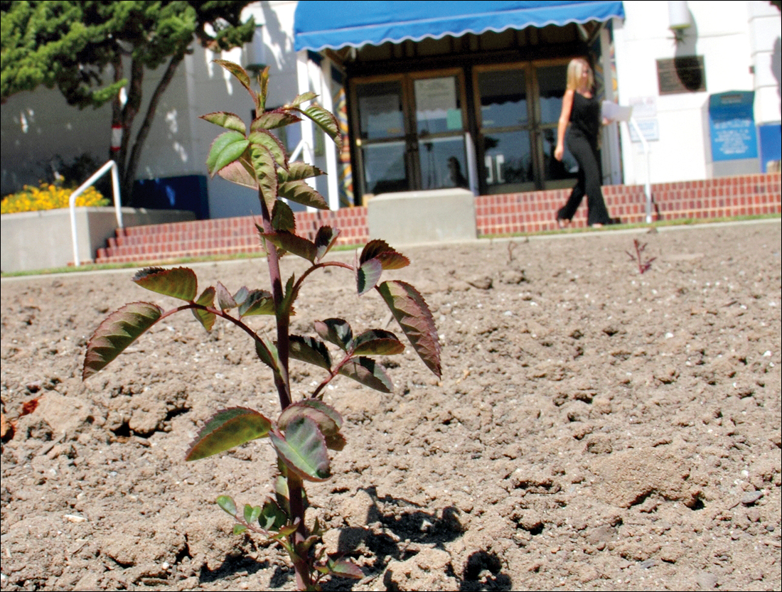SURPRISE RETURN: A rose bush sprouts up from a patch of soil in front of City Hall on Tuesday. The garden was razed to make way for a park that may not be developed. The small bush is springing from the root of one of the removed specimens.