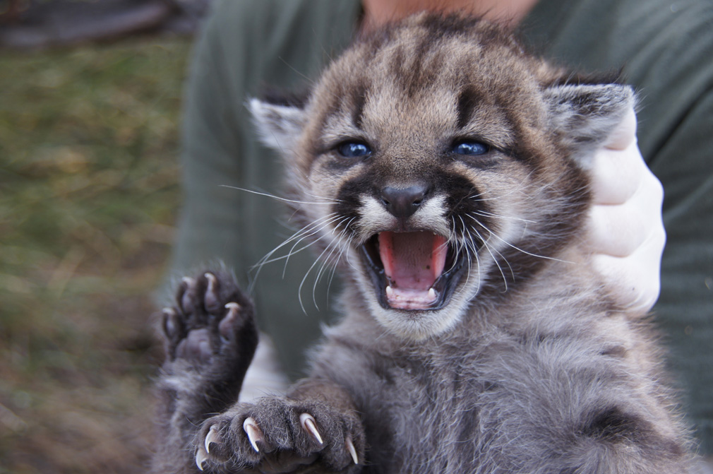 One of two baby mountain lions recently discovered in the Santa Monica Mountains. (Photo courtesy National Park Service)