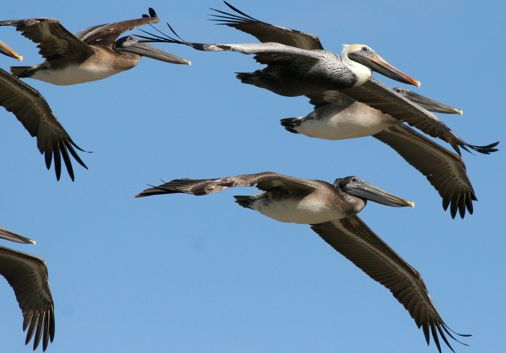 Brown pelicans take flight. (Photo courtesy Getty Images.)