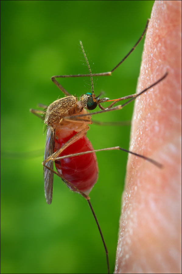 Image shows Culex quinquefasciatus, a representative of the Culex genus of mosquitoes. (Photo courtesy Centers for Disease Control)