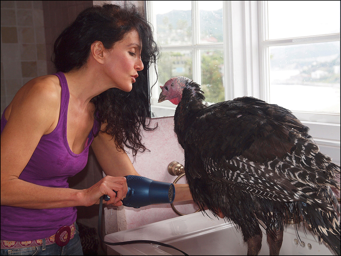 Author Karen Dawn blowdrying her turkey Perry, whom she rescued last year. (Photo by Hugh Slavitt)