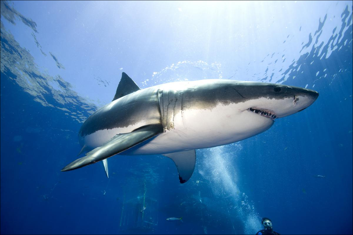 White shark. (Photo courtesy Google Images)