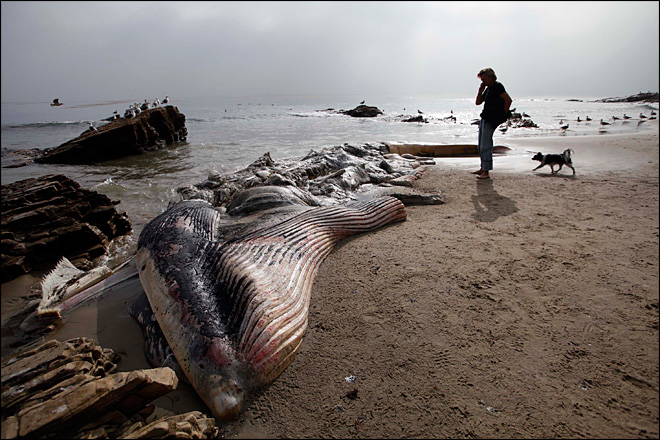 A woman walks her dog past a dead young male fin whale that washed up Monday between the Paradise Cove and Point Dume areas of Malibu on Thursday. (AP Photo/Nick Ut)