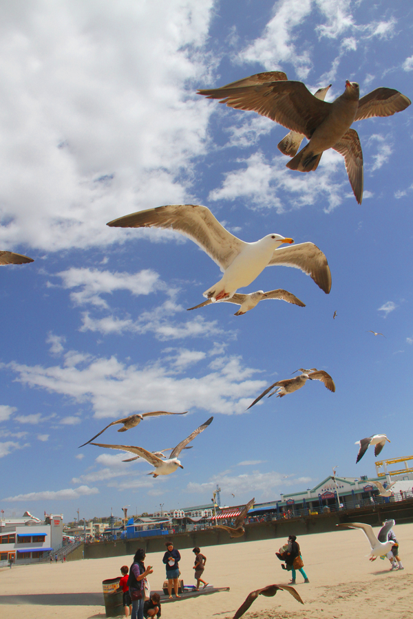 Birds fly against the wind on Santa Monica Beach on Monday. (Photo by Daniel Archuleta)