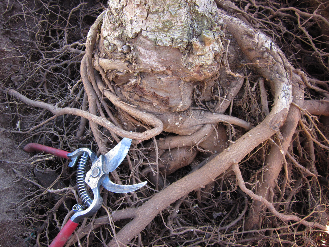 City Arborist Robin Beaudry says that this tree on 22nd Street suffers from stem girdling roots. It's a type of dysfunctional root that is growing against a tree's trunk. This compression may severely retard or stop the flow of nutrients. Sometimes, trees can snap off at the weak point because of the condition. (Photo courtesy Robin Beaudry)