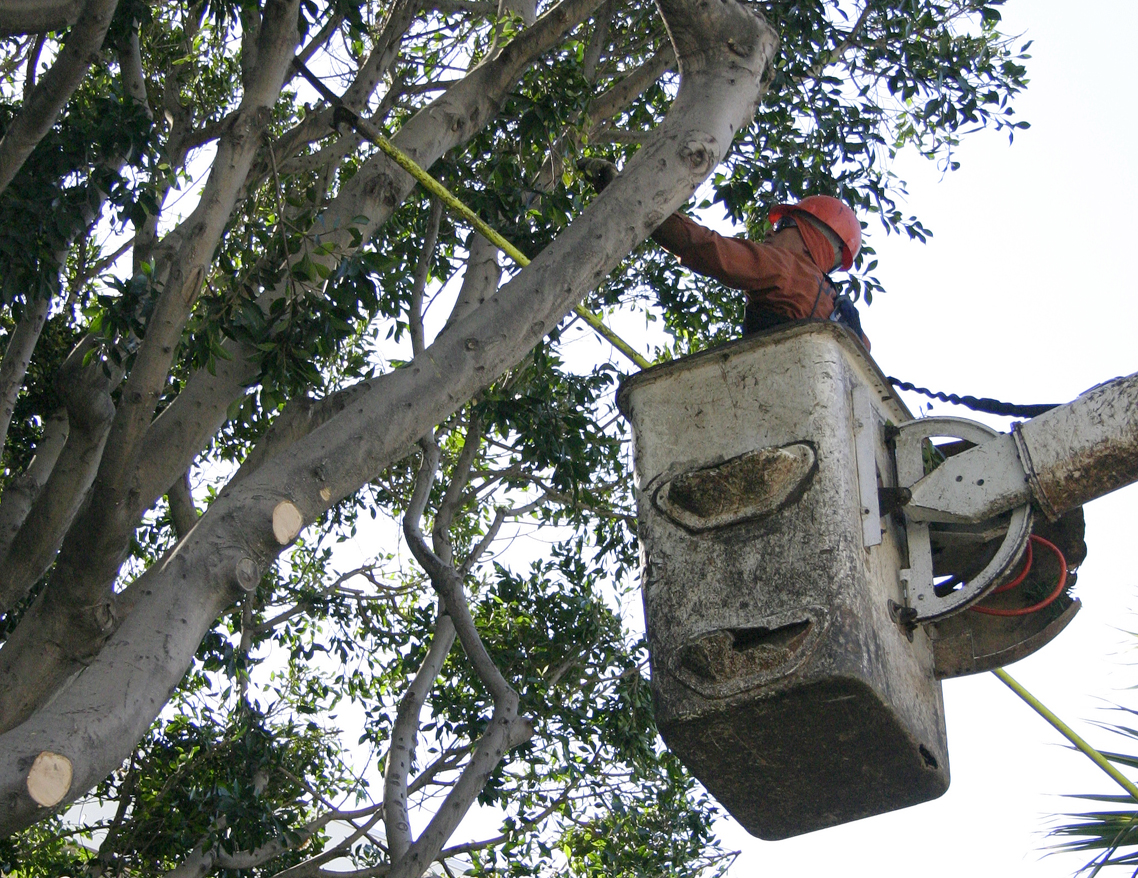 A worker with West Coast Arborists trims trees on Fifth Street last year. (Photo by Daniel Archuleta)