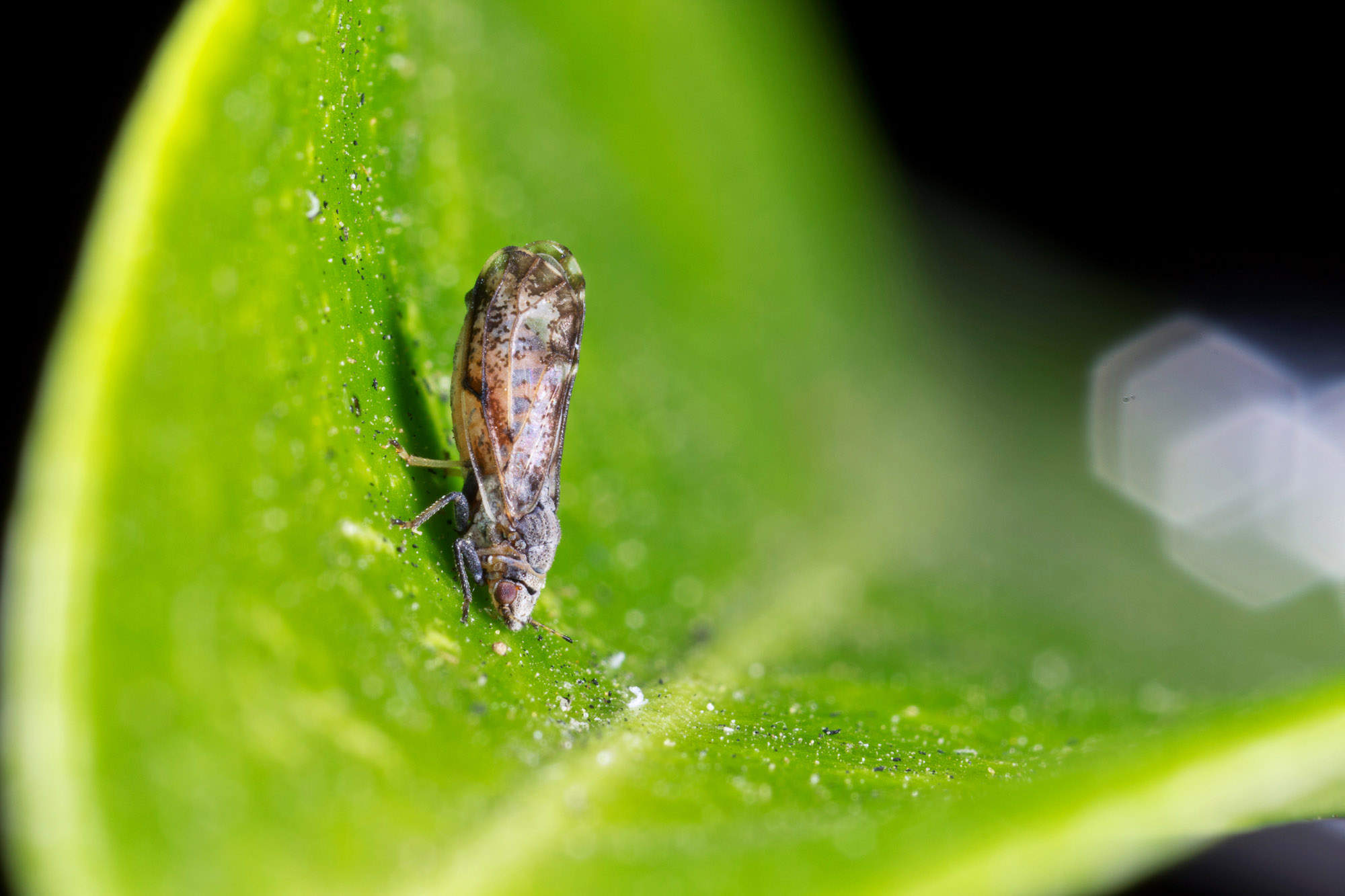 The Asian citrus psyllid is spreading a bacteria that is attacking orange groves, putting the U.S.'s $3 billion citrus industry in jeopardy. (Photo courtesy Mike Lewis/Google Images)