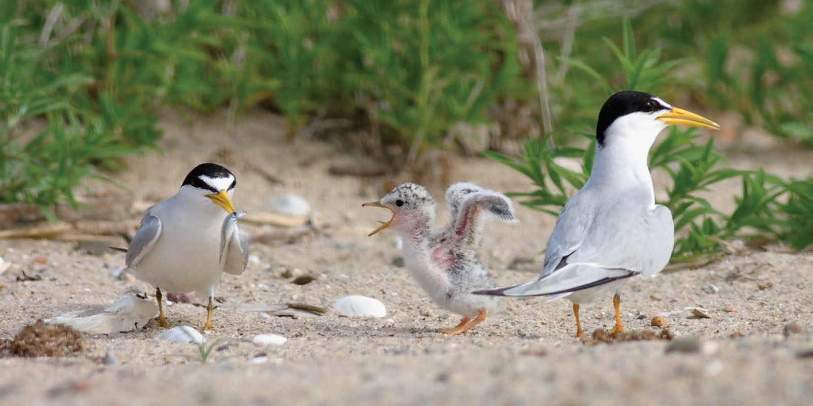 Least terns like the ones pictured here were spotted in the Malibu Lagoon for the first time in over 70 years. (Photo courtesy Google Images)