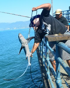 Richard Perez catches a shark from the Santa Monica Pier on last year. (Photo by Fabian Lewkowicz)