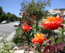 Orange flowers bloom in Sonya Anselmo's parkway garden on 12th Street. (Daniel Archuleta daniela@smdp.com)