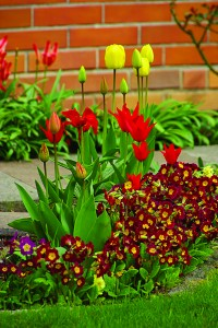 Many of spring's exquisite flowers, like these tulips and primrose, are actually planted in the fall. (Getty Images/Armstrong Garden Centers)