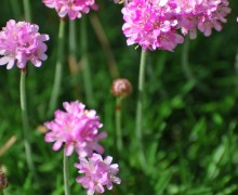 Common thrift (Armeria maritima) is an easy, no-care, almost all-year bloomer in Santa Monica. (Photo courtesy Armstrong Garden Centers)