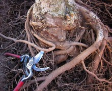 Many trees died shortly after being planted, some from a condition known as root girdling. When that occurs, a tree's roots are not allowed to grow properly and instead wrap tightly around the tree's trunk, choking it to death. (File photo)