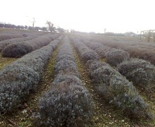 Some wonder whether our fascination with essential oils is so good for the planet, given that it can take hundreds if not thousands of pounds of plant material to make just one pound of an oil. Pictured: A lavender field at the Norfolk Lavender farm and nursery and distillery in Heacham, Norfolk, England. (Photo courtesy Mary Hillary)
