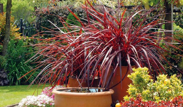 BOOM! Cordyline festival grass is a good choice to add some pop to any landscape. (Photo courtesy Armstrong Garden Centers)