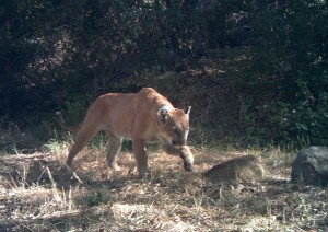 The mountain lion who was killed last month while trying to cross U.S. Route 101 in Agoura Hills, Calif. (Photo courtesy National Park Service)