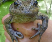 California red-legged frog (National Park Service)