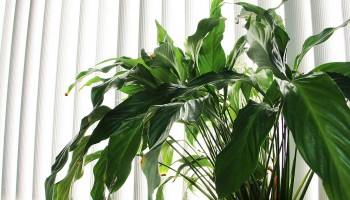 Houseplants' problems are further compounded by windows, which cut sunlight by another 10 percent. No wonder these plants, if they are growing at all, stretch for light this time of year. (Daniel Archuleta daniela@smdp.com)