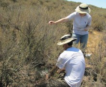 Interns measure plots of California sagebrush that have been injected with various levels of nitrogen as part of a three-year study to learn how air pollution is impacting native plants and fire risk. (Photo courtesy National Park Service)