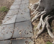Recycled-rubber sidewalk sections, lifted by ficus roots. (Photo courtesy Anne Eggebroten)