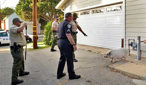 ON THE RUN: This pig wasn't easy to catch. (Photo courtesy Santa Monica Police Department)